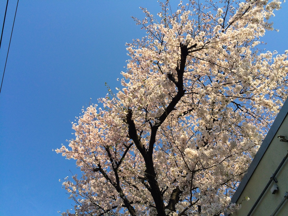 派手に躓いてハンドスプリングするように1回転する数分前にとった桜の写真